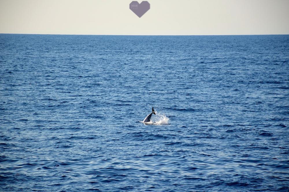 dauphin mer mediterranée toulon souffleurs ecume label whale watching Lavandou